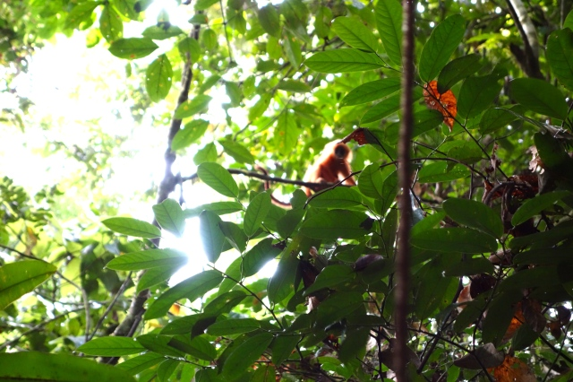 Baby Red Leaf Monkey