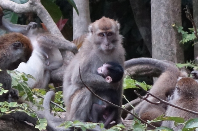 Long Tail Macaques on Kinabatangan River