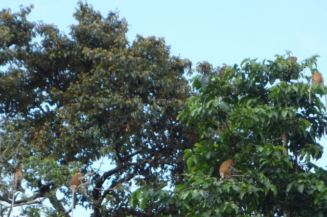 Proboscis Monkeys. This is one of many points I wished we'd had a zoom lens.